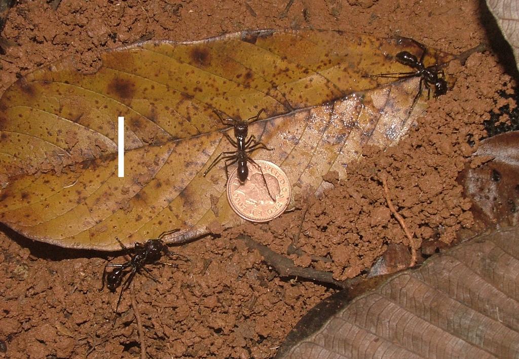 Paraponera scaled