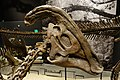 Parasaurolophus cyrtocristatus skull salt lake city.jpg