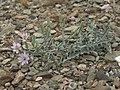 Parry rockpink, Stephanomeria parryi (31781150074).jpg