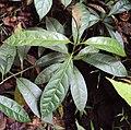 Parsonsia inodora 01.jpg