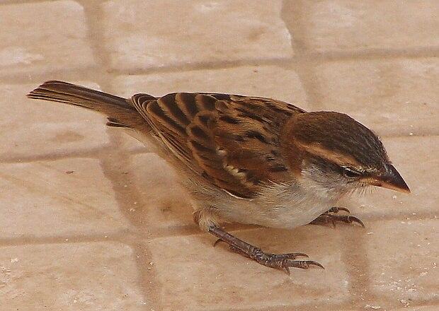 Passer iagoensis female