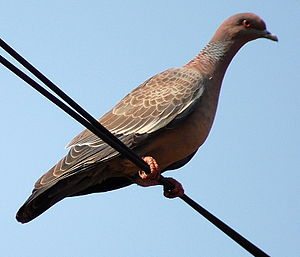 Asa Branca - The picazuro pigeon, called pomba-asa-branca or white-winged dove in Portuguese.