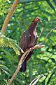 Patagioenas squamosa in Barbados a-14.jpg