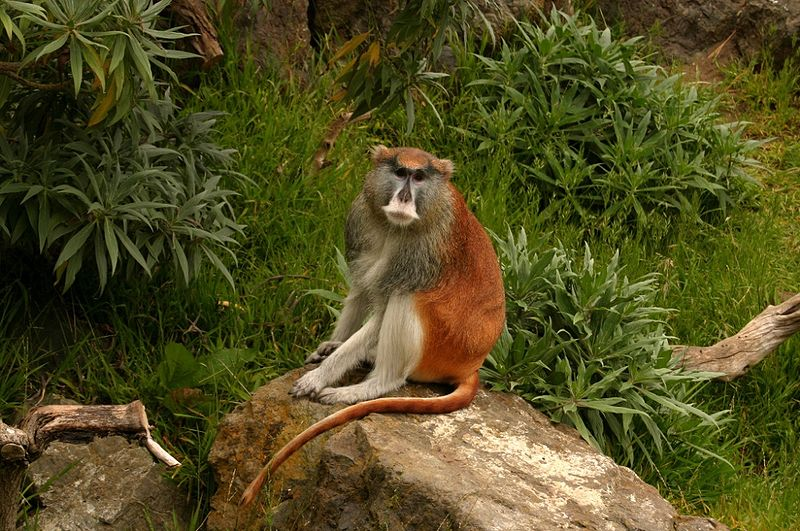 http://upload.wikimedia.org/wikipedia/commons/thumb/4/4a/Patas_Monkey_Jr.jpg/800px-Patas_Monkey_Jr.jpg