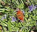Peacock butterfly unfolding wings on bluebells - geograph.org.uk - 1315145.jpg