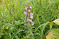 Pedicularis nipponica 02.jpg