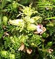 Pedicularis palustris 060705.jpg
