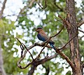 Pench Indian roller by Ananth T.jpg