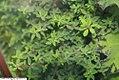 Peperomia rubella 1zz.jpg