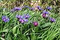 Perennial cornflowers - Centaurea montana - geograph.org.uk - 425297.jpg