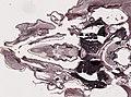 Periplaneta americana (YPM IZ 098956) 009.jpeg