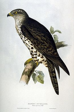 Pernis apivorus by John Gould.jpg