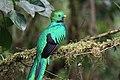 Pharomachrus mocinno Monteverde 08.jpg
