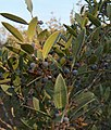 Phillyrea angustifolia g1.jpg