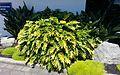 Philodendron xanadu AK2.jpg