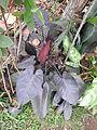 Philodendrum purple leaf-3-shevaroy nursery-yercaud-salem-India.JPG