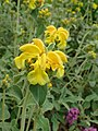 Phlomis fruticosa kz01.jpg