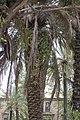 Phoenix dactylifera et plantes épiphytes Piazza Vittoria.jpg