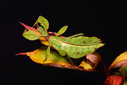 Phyllium Philippinicum.jpg