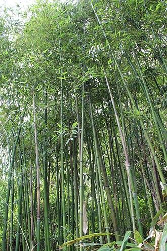 Phyllostachys bambusoides - Image: Phyllostachys bambusoides 'Violascens' Bambus
