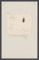 Phytophilus - Print - Iconographia Zoologica - Special Collections University of Amsterdam - UBAINV0274 027 10 0004.tif