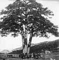 Pi de les Tres Branques 1905.jpg