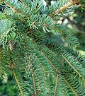 Picea glauca 04.JPG