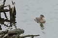 Pied-billed Grebe (33864433565).jpg