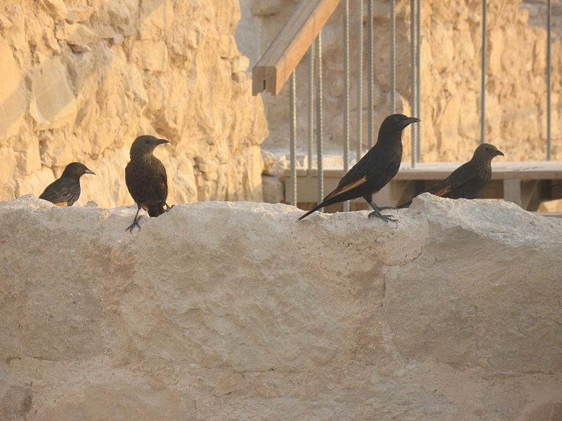 הציפורים ממצדה