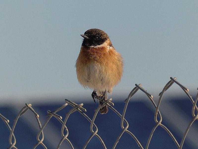 ציפור על תיל