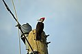 Pileated Woodpecker Power pole edit.jpg