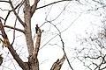 Pileated woodpecker (19179221845).jpg