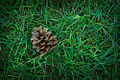 Pinecone in grass.jpg