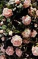 Pink Roses for Wiki Loves Love 2019-1.JPG