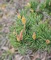 Pinus sylvestris in Aveyron (4).jpg