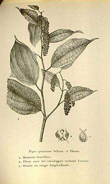 Piper guineense - Wikipedia
