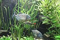 Piranhas im Wuppertaler Zooaquarium.JPG