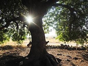 Pistacia atlantica - Pistacia atlantica in sunlight