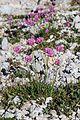 Plants from Drei Zinnen 02.jpg