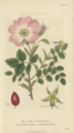 Plate 12 Rosa Canina - Conversations on Botany-1st edition.tiff