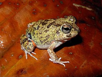 Colombian four-eyed frog - Image: Pleurodema brachyops