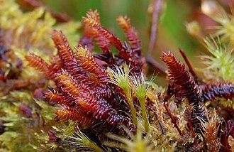 Pleurozia - Pleurozia purpurea.