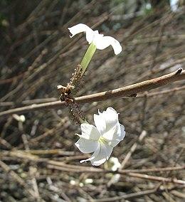 Plumbagoaphylla
