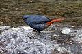 Plumbeous Redstart.jpg