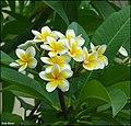 Plumeria-0006-Zachi-Evenor.jpg