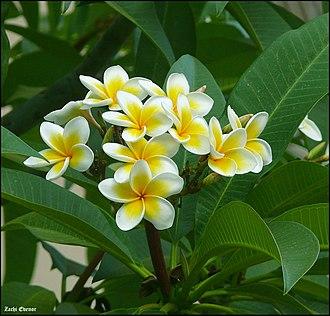 Plumeria rubra - Close-up on flowers of a white variant of Plumeria rubra in Israel