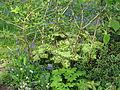 Podophyllum Spotty Dotty (14005016151).jpg