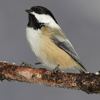 The Black-capped Chickadee is the state bird o...