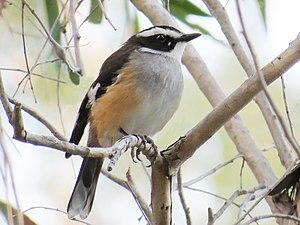 Buff-sided robin - Adult buff-sided robin, Gregory River QLD.