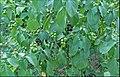 Pohon Leunca.jpg